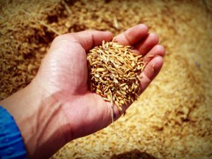 Farming grain harvesting